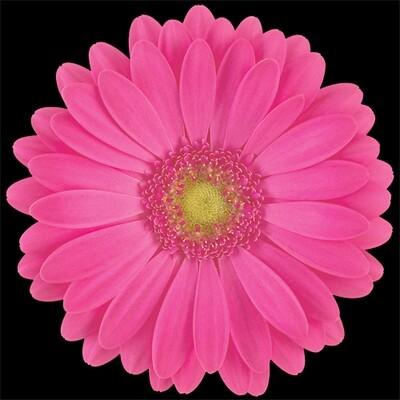 Rihanna-Hot Pink - Gerbera