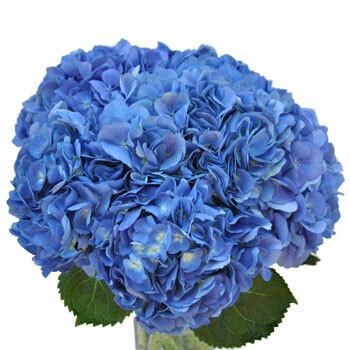 Shocking Blue - Hydrangea