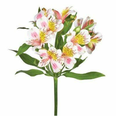 Bella Blossom - Alstroemeria
