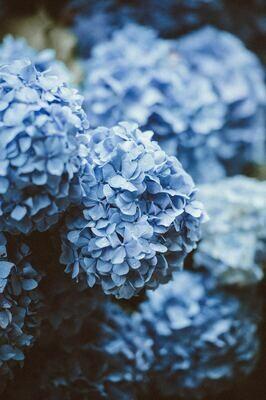 Tinted - Hydrangea Blue