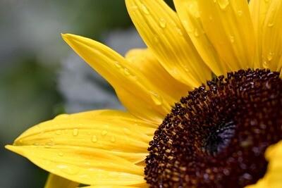 Pettite - Sunflower