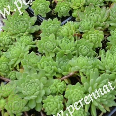 Alppimehitähti Sempervivum montanum