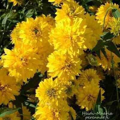 Kultapallo Rudbeckia laciniata Goldball