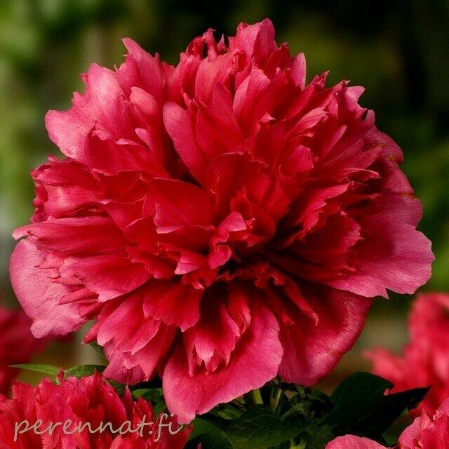 Hybridipioni Paeonia Red Charm Ruukkutaimi 2,8l