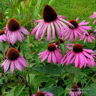 Kaunopunahattu Echinacea purpurea