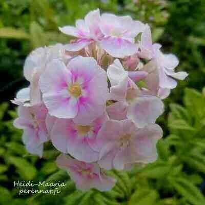 Syysleimu Phlox paniculata Younique Bicolor