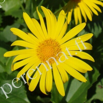 Kevätvuohenjuuri - Doronicum orientale Magnificum