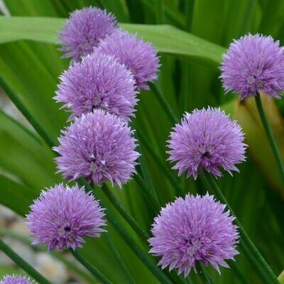 Ruohosipuli - Allium schoenoprasum