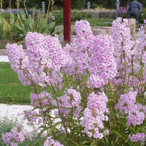 Täpläleimu - Phlox maculata Natascha