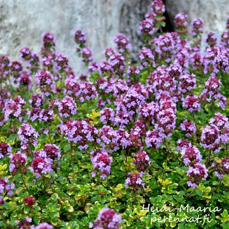 Sitruuna-ajuruoho Thymus  x citriodorus Doone Valley