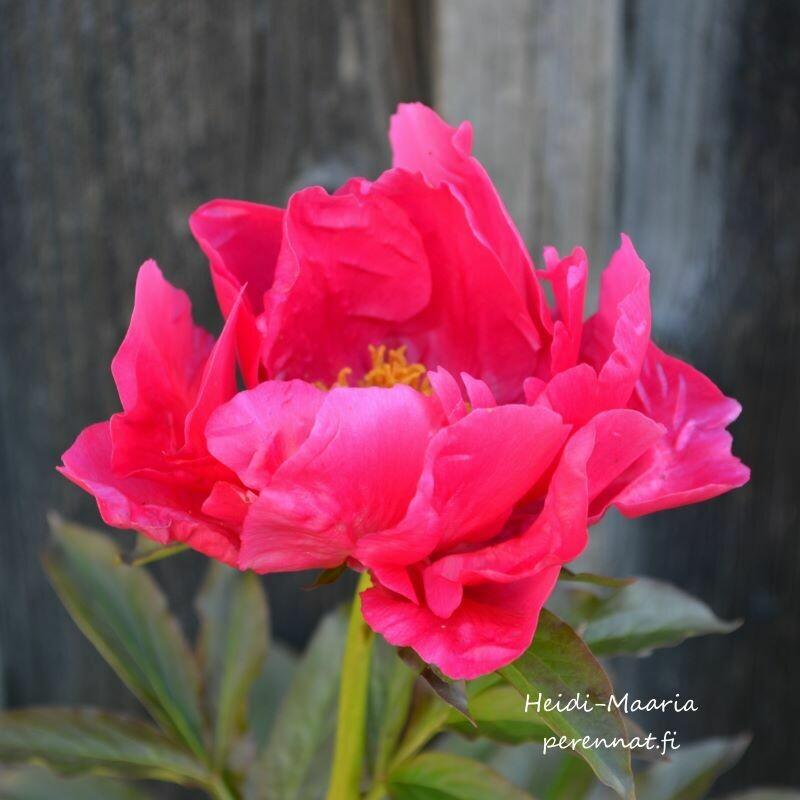 Hybridipioni - Paeonia `Eventide´