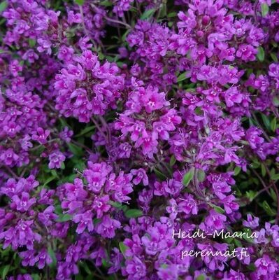 Harmaa-ajuruoho Thymus  praecox ´Red Carpet´