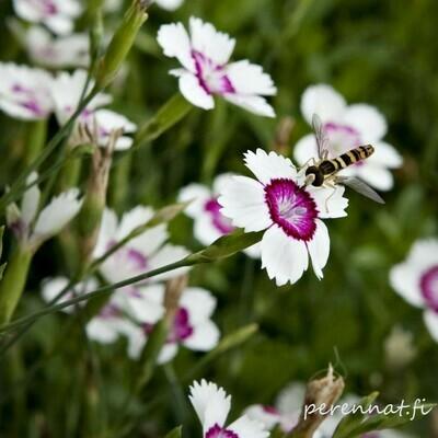 Ketoneilikka Dianthus  deltoides Artic Fire