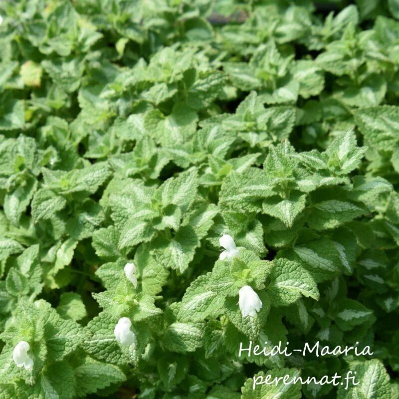 Hopeatäpläpeippi  Lamium maculatum ´Album´