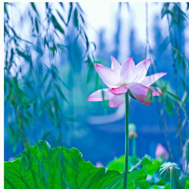 Waterlily Puzzle