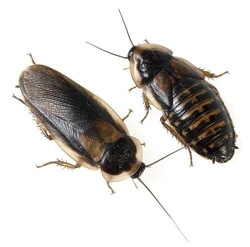 Dubia Kakkerlakken