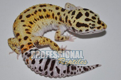 Hypo tangerine het bell albino