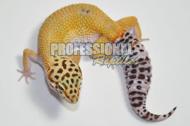 Super hypo tangerine het bell albino