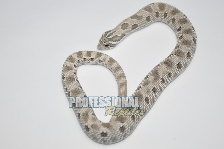Axanthic anaconda