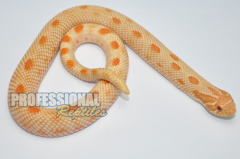 Albino anaconda