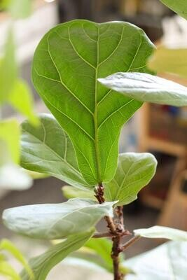 Njega: Ficus Lyrata