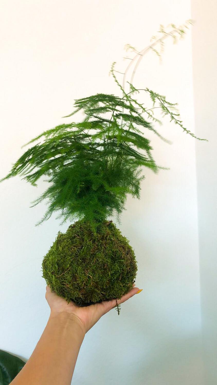 Asparagus Kokedama