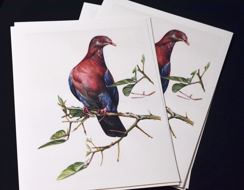 Red billed pigeon