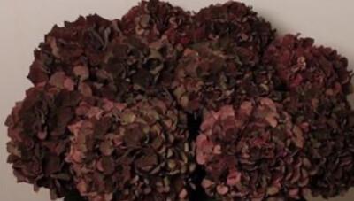 Winter Hydrangea Box Ruby Reds (3 stems)