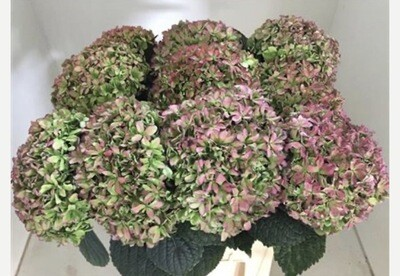 Hydrangea in pink & green (5 x Large heads)