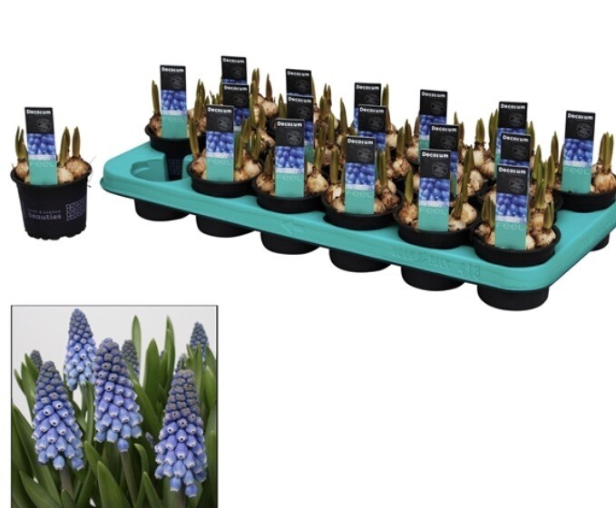 The Winter Bulb Box (4 x pots with approx 18-20) Blue Muscari