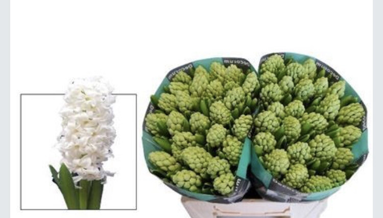 The Winter Bulbs (4 x pots with approx 12 bulbs) White Hyacinth