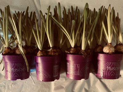 The Spring Bulb Box of White Muscari
