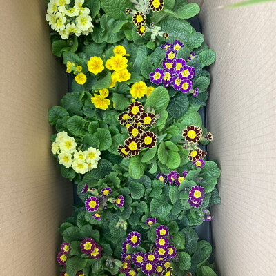 The Spring Primula Box