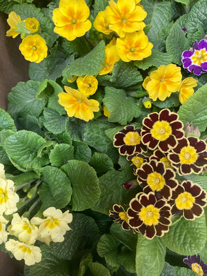The Kit Bowl of Spring Primula