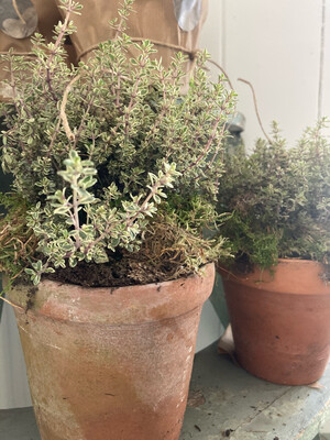 The Thyme in Old Terracotta