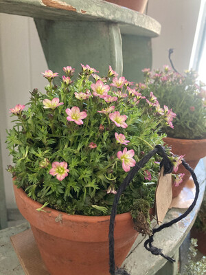 The Saxifraga in Old Terracotta