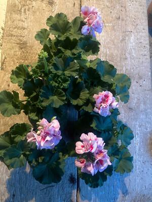 The Geranium Dappled Pink Box