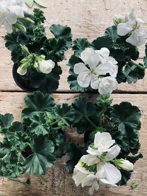 The Pelargonium White Box