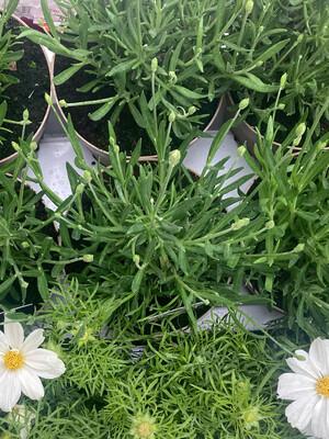 The White Lavender Box