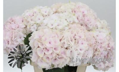 The Pale Pink Hydrangea Box