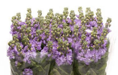 The Lavender Stock Box