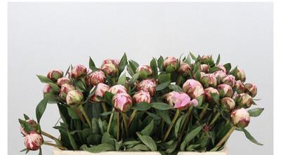 The Peony 'Sarah Bernhardt'  Pink Box