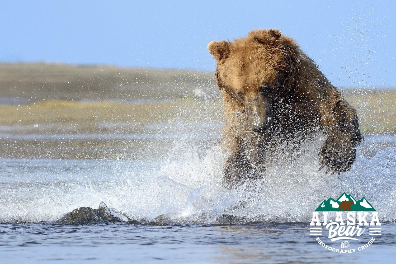 Alaska Bear Photography Workshop (June 19th to 25th 2021)