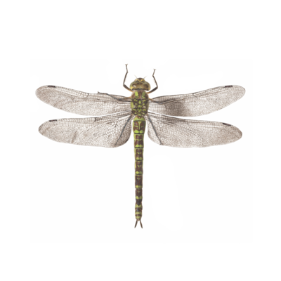 Dragonfly - 2 Pack