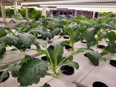 Dinasour (Lacinato/Tuscan) Kale