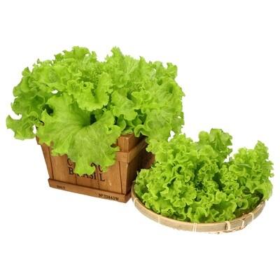 Netherlands Breed Lollo Bionda (Green Coral Lettuce)