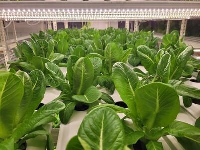 Netherlands Breed Lettuce Romaine - Little Gem