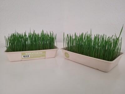 India Breed Wheatgrass