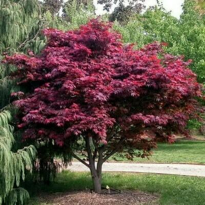 Acer palmatum atropurpureum 100-125cm
