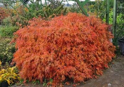 Acer palmatum dissectum 50-60cm
